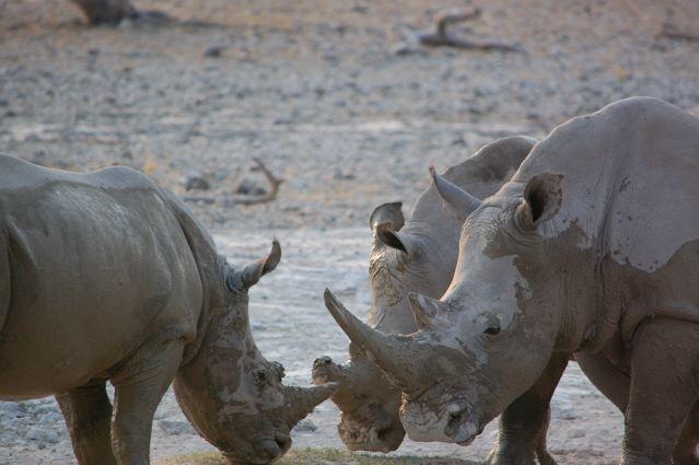 rain and the rhinoceros essay
