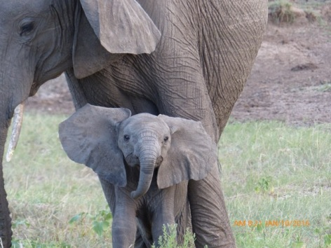 elephant-calf-checks-us-out