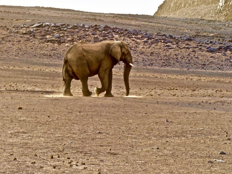 #8 Damaraland The Mastar Elephant Walks in the Light copy.jpg